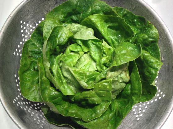 bibb lettuce 1